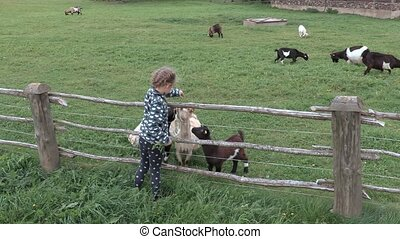 Girl feeds the goats in the enclosure