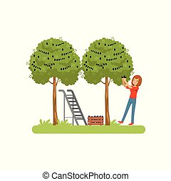 Girl harvesting olives, olive tree, ladder and wooden crate vector Illustration on a white background
