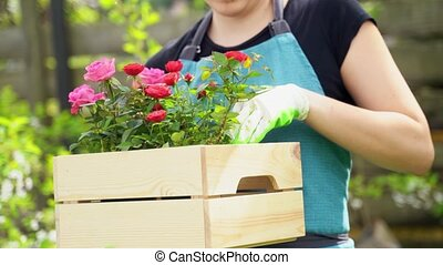 girl in blue apron holds wooden box and sets rose pot inside...
