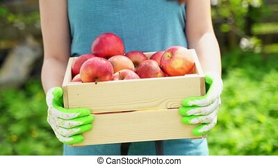 girl in blue apron pulls close wooden box with ripe apples -...