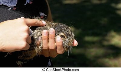Girl is Holding a Small Wild Fluffy Baby Bunny. Little bunny in the palm of your hand. The girl gently strokes the animal over the wool. Friendly relations between people and animals