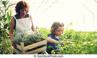 girl, jardinage, petit, greenhouse., grand-mère, personne agee