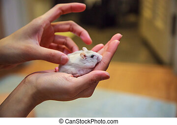 Girl massages cute exotic female Winter White Dwarf Hamster on palm hands. Winter White Hamster is known as Winter White Dwarf, Djungarian or Siberian Hamster. Pet health care, human friend concept.