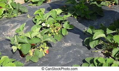 girl pick strawberry