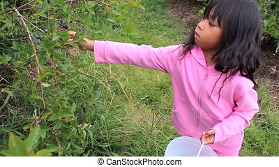 Girl Picking Fresh Blueberries - A cute little Asian girl...