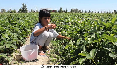 Girl Picking Fresh Strawberries - A cute little seven year...