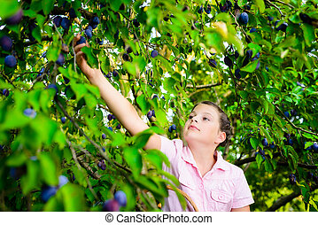 girl picking plums from a tree