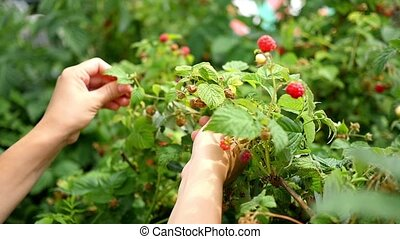 girl picking ripe berries