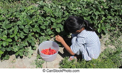 Girl Picks Fresh Strawberries