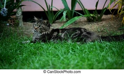 girl plays with a lazy cat in the grass