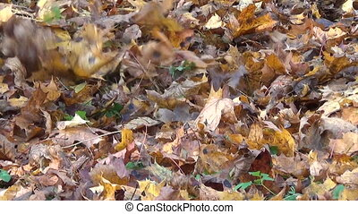 girl rake autumn leaves - girl raking in a pile a lot of dry...