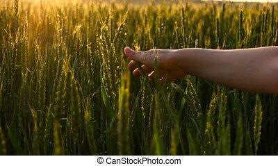 Girl stroking green wheat close up