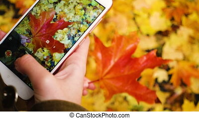 girl taking a photo of an autumn maple leaves with the smartphone