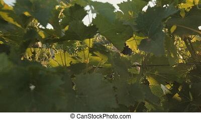 Girl with long black hair walks through the vineyard under...