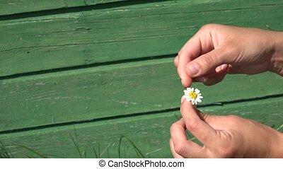 girlfriend hands tear off daisy flower petals on green background. 4K