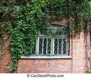 Parthenocissus tricuspidata - Girls' grapes (Parthenocissus...