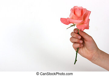 hand holding a rose - Girls hand holding a rose on a white...