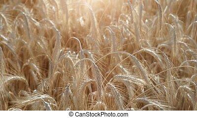 girl's hand touching wheat in wheat field