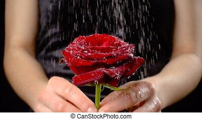Girl's hands holding wet red rose under rain, slow motion