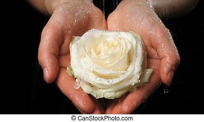 Girl's hands holding wet white rose under rain, slow motion