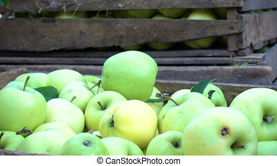 girls hands stacking a harvest of green apples into the...