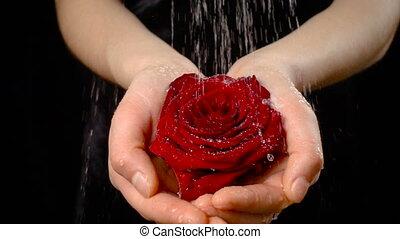 Girl's palms holding wet red rose under rain, slow motion