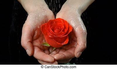 Girl's palms holding wet ruby-red rose under rain