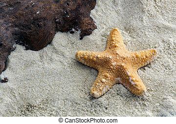 giungla, starfish