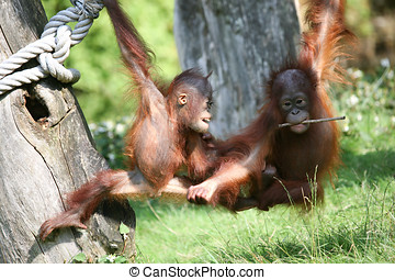 Give me that - Two baby orang utans playing together in the...