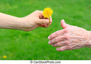Giving a Dandelion to Senior - Young hand giving a dandelion...
