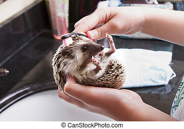 Giving a pet hedgehog a bath in a sink - Giving a pet...