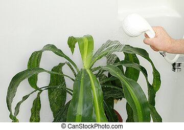 Giving Houseplant a Shower