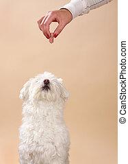 hand giving a tidbit to cute white bichon dog