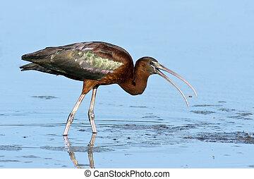 glänzend, ibis