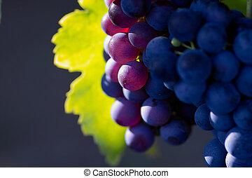 glödande, mörk, vin druvor