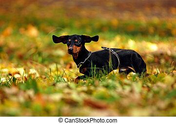 glücklich, dachshund hund, park