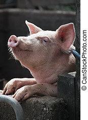 glücklich, schwein