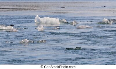 Glacial lagoon Jokulsarlon with seals swimming - Ice...