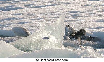 Glacial lake with birds - Birds at glacial lake in...