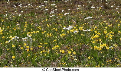 Glacier Lily wildflowers - Glacier Lilies in an alpine...