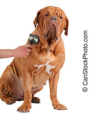 Big french mastiff very proud and glad while being groomed