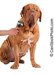 Glad Big Dog Being Groomed - Big french mastiff very proud...