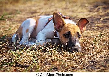glad, vos, jonge, gras, terrier, het liggen