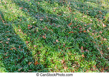 Glade covered with vinca in morning autumn forest