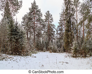 Glade in a winter forest, pine and spruce