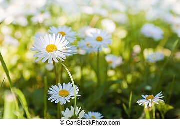 Glade of blossoming daisies, close up