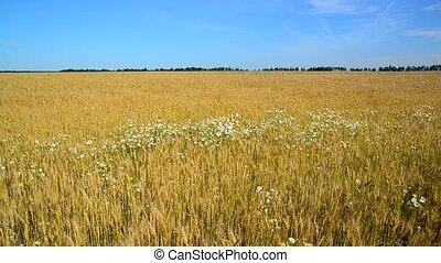 Glade of camomiles in ripe wheat field