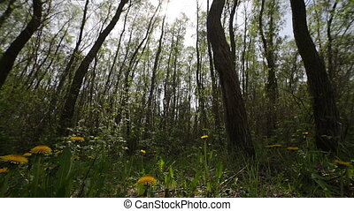 glade of dandelions - the glade of dandelions, nature