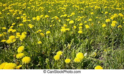 Glade of dandelions on springtime