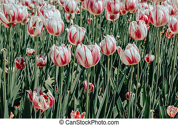 Glade of white-burgundy tulips. Natural background for your projects.